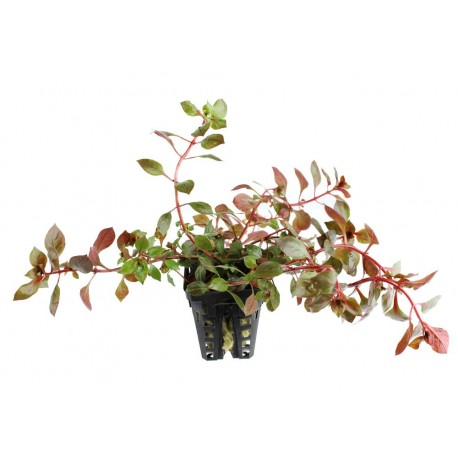 Ludwigia sp. Super Red