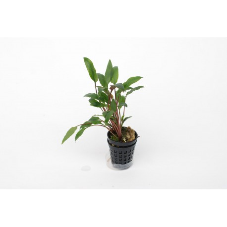 Cryptocoryne species green
